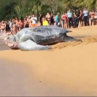 Tortuga Laúd, video, playa, México, gigante