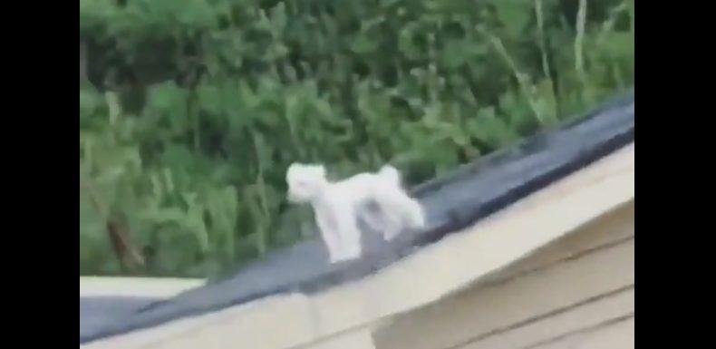 [VIDEO] Perro se vuelve viral en al quedar atrapado en el techo de su casa... ¡Está dando la vuelta al mundo!